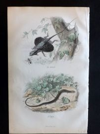 Lacepede & Travies 1881 Hand Col Print. Dragon & Seps Lizard